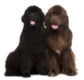 Meses dos filhotes de cachorro de Terra Nova 5 e 30, velhos Fotografia de Stock