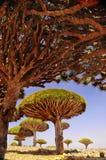 Meseta con los árboles de dragón en un día soleado yemen Socotra árboles endémicos Foto de archivo libre de regalías