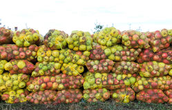 Mesh bags of freshly picked apples for juice industry on early morning. Royalty Free Stock Image