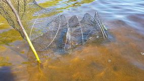 Mesh with fish in the river. A mesh with a caught fish in the river. sport fishing. fishing for feeder stock video
