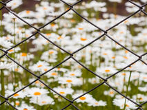 Mesh netting. Daisy flowers in the background in the blur Royalty Free Stock Photo