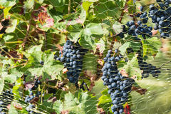 Mesh over the grapes Royalty Free Stock Photos