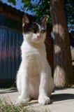 6 mesi di posa bianca del gattino Fotografia Stock Libera da Diritti