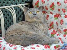 Mesmerised pedigree british shorthair cat on chaise Royalty Free Stock Photography