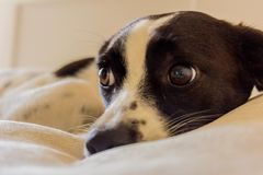 Mesmerizing Dog eyes. My dog lying on the bed and looking cute and adorable Stock Image