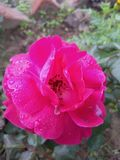 Mesmerizing red rose. Water-droplets on beautiful red flower making it divine and heaven-sent Stock Photo