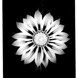 Mesmerizing Vibrance. Flower that even in black and white it shows off great detail Stock Image