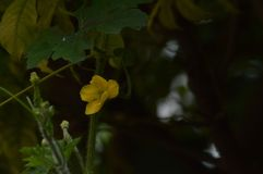 Mesmo a flor do bottleguard pode olhar tão bonita Fotos de Stock Royalty Free