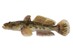 Mesogobius batrachoeephalus stock photos