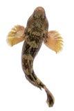 Mesogobius batrachoeephalus royalty free stock photo