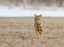 Mesomelas волка Стоковые Фотографии RF