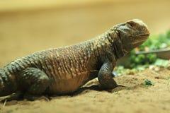 Mesopotamian spiny-замкнул ящерицу стоковые фото