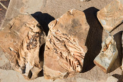 Mesosaurus Fossil Royalty Free Stock Photography