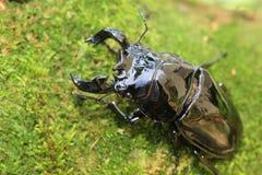 Mesotopus tarandus stag beetle Stock Photos