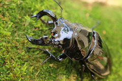 Mesotopus tarandus stag beetle Royalty Free Stock Image