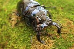 Mesotopus tarandus stag beetle Stock Photo