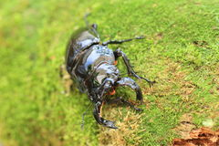 Mesotopus tarandus stag beetle Royalty Free Stock Photos