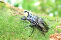 Mesotopus tarandus stag beetle Royalty Free Stock Images