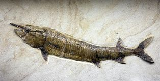 Mesozoic age fossil fish trapped in the rock Royalty Free Stock Photo