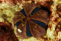 Mespilia globulus - Andaman Sea Stock Images
