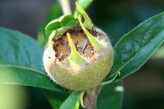 Mespilus Germanica Has Green-brown Edible Fruit Stock Photo