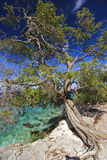 mesquite δέντρο Στοκ Εικόνα