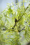 Mesquite drzewa Obraz Royalty Free