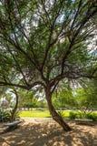 Mesquite drzewo w parku Obrazy Stock