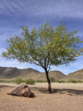 Arizona Mesquite tree in desert backyard Royalty Free Stock Photography