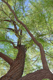 Mesquite Tree Closeup Royalty Free Stock Images
