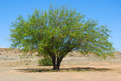 Mesquite tree in desert