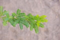 Mesquite Tree Leaves In Wadi Alkhodh Valley, Muscat, Oman Royalty Free Stock Photo
