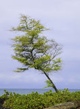 Mesquite tree by the ocean Royalty Free Stock Photography