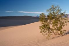 Mesquite Tree in Sand Dunes Stock Photography