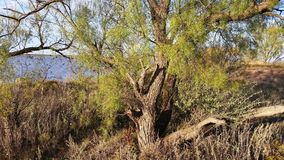 Mesquite Tree with Underbrush Royalty Free Stock Image