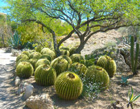 Barrel cactus under Mesquite trees. Meandering the pathway through a hot desert garden when I came across this cluster of barrel cacti under the shade of stock images