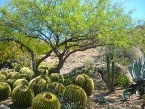 Barrel Cactus under Mesquite tree shade. Dense planting of barrel cactus under the shade of mesquite trees. Barrel cactus are various members of the two genera stock image