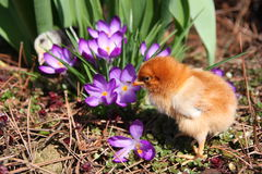 Messa Chick with crocuses. Messa Chick in the spring garden with crocuses stock photos