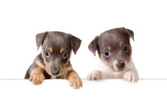 Message from the dogs. Isolated 6 weeks old jack russel puppy dogs with a white message Stock Images