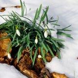 Baisse naissante de neige Images stock
