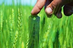 Messen der Länge des Weizens Stockfotos