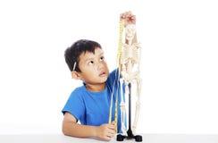 Messen des menschlichen Skeletts Lizenzfreies Stockfoto