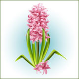 The messenger of the coming spring, a pink hyacinth. Stock Images