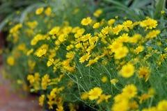 Messicano giallo Diasy Fotografia Stock