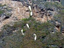 Messico Chiapas, tabasco, Tuxtla Gutiérrez, Kanjon del Sumidero som i flykten som flyger häger utbildar Royaltyfri Fotografi