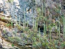 Messico, Chiapas, Tabascosaus, Tuxtla Gutiérrez, Canyon del Sumidero, cactus op de canionmuren stock fotografie