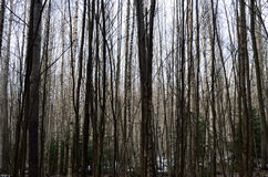 Messy birch forest Royalty Free Stock Images