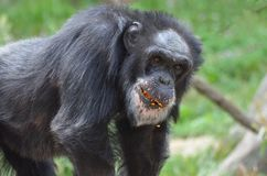 Messy chimp Royalty Free Stock Photo