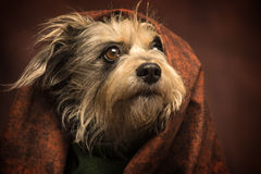 Messy hair dog. A mix schnauzer is coming out from under a texturized brown piece of cloth, and have his hair all messy stock images