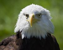 Messy Head Bald Eagle (Haliaeetus leucocephalus) Royalty Free Stock Photos